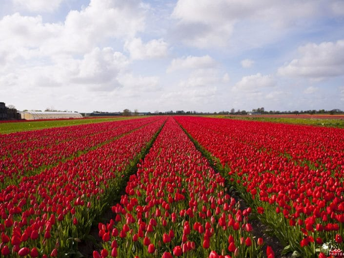 Séjour aux Pays Bas : Kinderdijk et Keukenhof