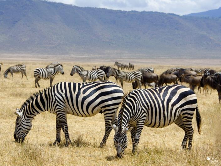 Tanzanie : Safari et Zanzibar
